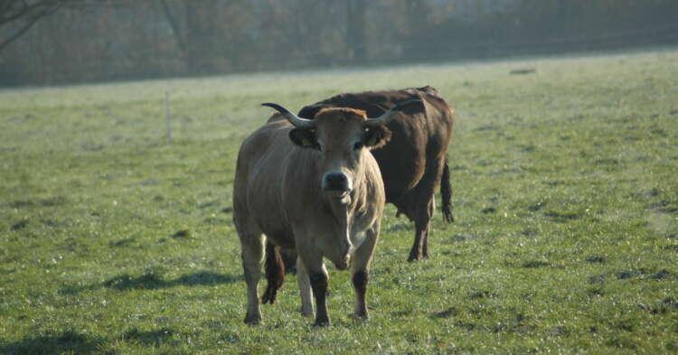 スイスの放し飼い牛