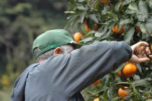 熊本 鶴田有機農園 国産レモン 特別栽培