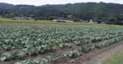 特別栽培ケール生葉