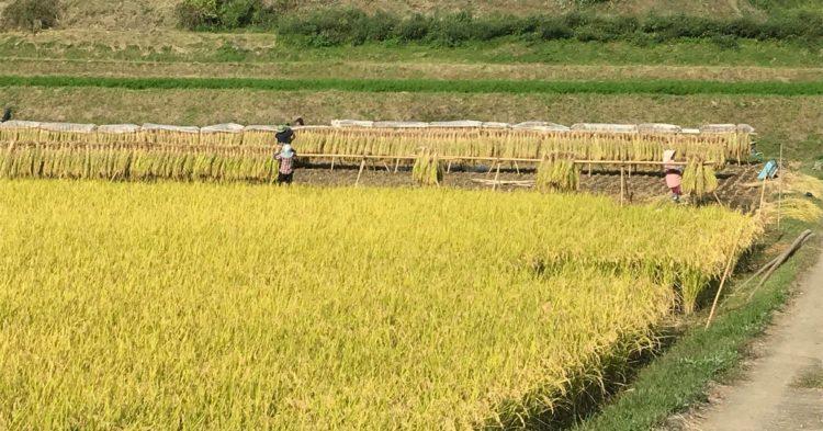 架け干しレンゲ米 2018年稲刈り