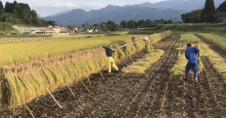 有機玄米 稲刈りの様子