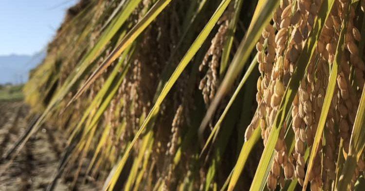 有機玄米稲架掛け天日乾燥の様子