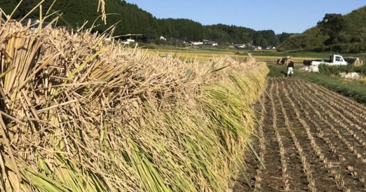 お日様の光をいっぱい浴び、乾燥される架け干しレンゲ米