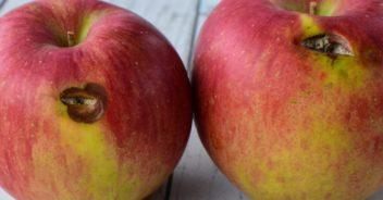 有機栽培リンゴ わけあり