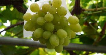 有機栽培ぶどう 黄玉