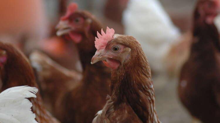 平飼い 鶏舎で生き生き過ごす鶏